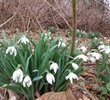 Snowbells – the first flowers of the spring.  Usually pop up thru snow!